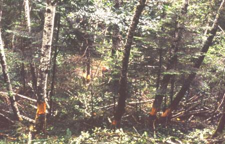 rowlandCk-180-girdling.trees_.instream-96